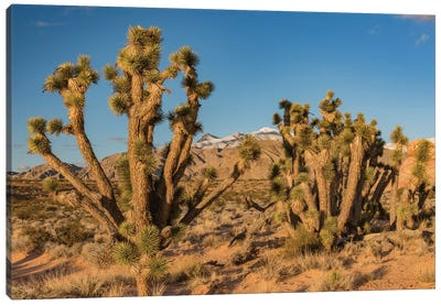 Joshua Trees In The Desert, Virgin Mountains, Gold Butte National Monument, Nevada Canvas Art Print