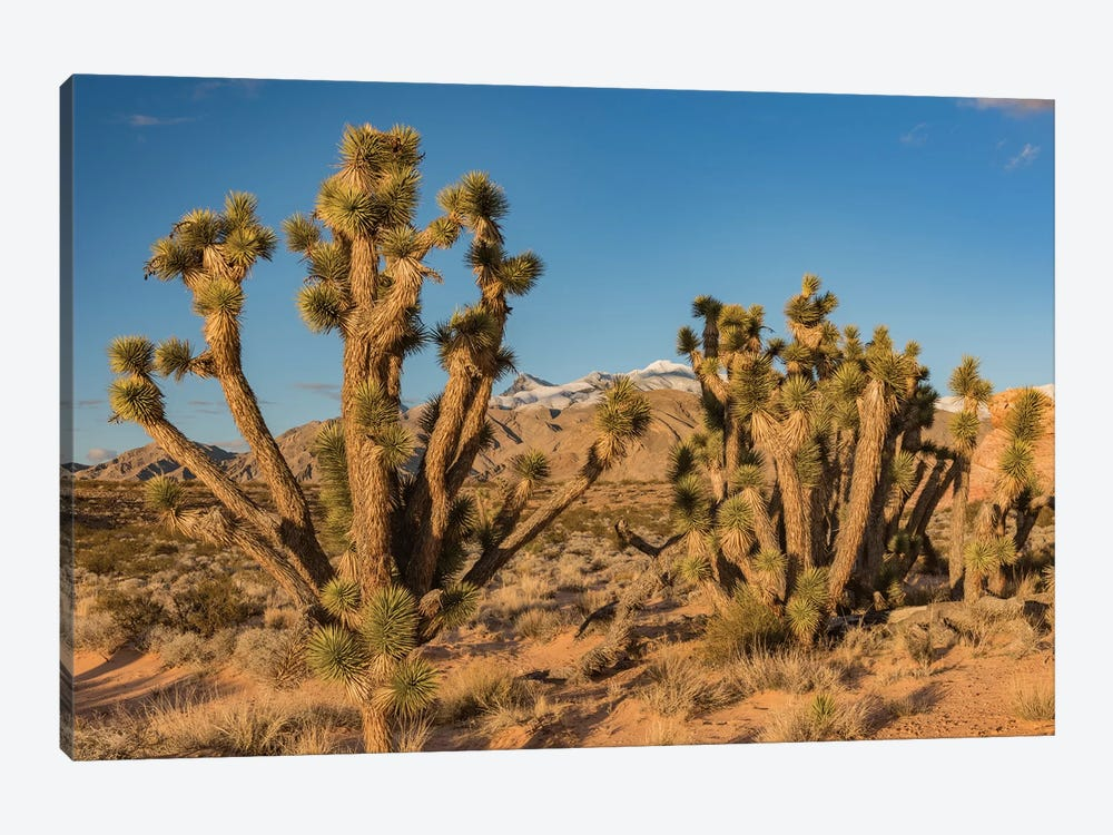 Joshua Trees In The Desert, Virgin Mountains, Gold Butte National Monument, Nevada by Jeff Foott 1-piece Canvas Wall Art