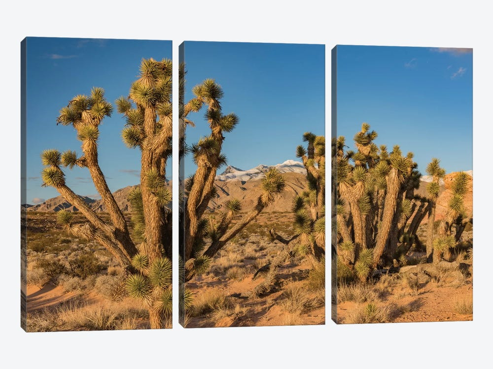 Joshua Trees In The Desert, Virgin Mountains, Gold Butte National Monument, Nevada by Jeff Foott 3-piece Canvas Wall Art