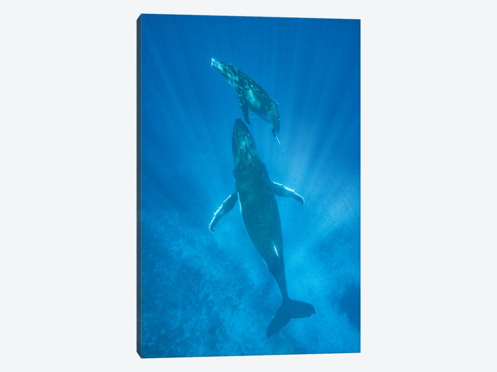 Humpback Whale mother and calf, Tonga by Jeff Foott 1-piece Art Print