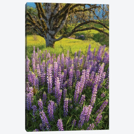 Lupine flowers and Oak tree, Redwood National Park, California Canvas Print #JFF58} by Jeff Foott Art Print