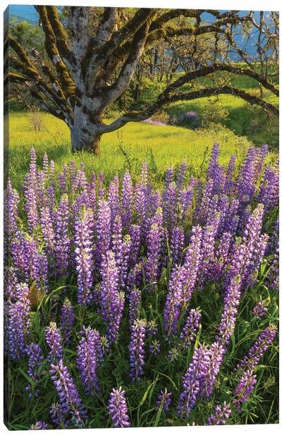 Lupine flowers and Oak tree, Redwood National Park, California Canvas Art Print