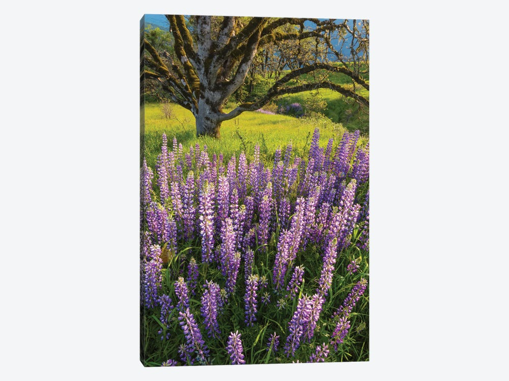 Lupine flowers and Oak tree, Redwood National Park, California by Jeff Foott 1-piece Canvas Artwork