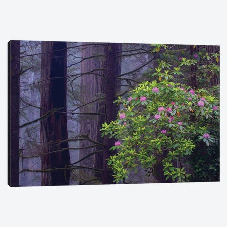 Pacific Rhododendron in old growth Coast Redwood forest, Redwood National Park, California Canvas Print #JFF66} by Jeff Foott Canvas Art Print