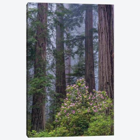 Pacific Rhododendron in old growth Coast Redwood forest, Redwood National Park, California Canvas Print #JFF67} by Jeff Foott Canvas Print