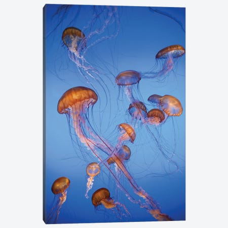 Pacific Sea Nettle jellyfish, captive, California Canvas Print #JFF68} by Jeff Foott Canvas Wall Art