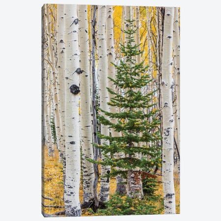 Quaking Aspen and fir tree in fall, Grand Staircase-Escalante National Monument, Utah Canvas Print #JFF70} by Jeff Foott Canvas Print