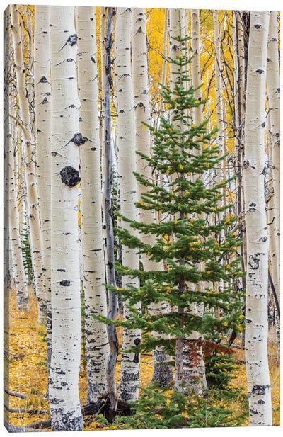 Quaking Aspen and fir tree in fall, Grand Staircase-Escalante National Monument, Utah Canvas Art Print