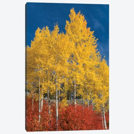 Quaking Aspen trees in fall, Grand Teton National Park, Wyoming Canvas Print #JFF71} by Jeff Foott Art Print