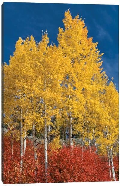 Quaking Aspen trees in fall, Grand Teton National Park, Wyoming Canvas Art Print
