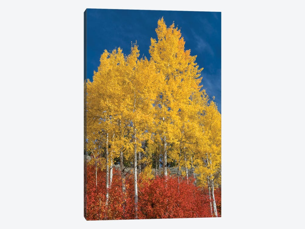 Quaking Aspen trees in fall, Grand Teton National Park, Wyoming by Jeff Foott 1-piece Canvas Art Print