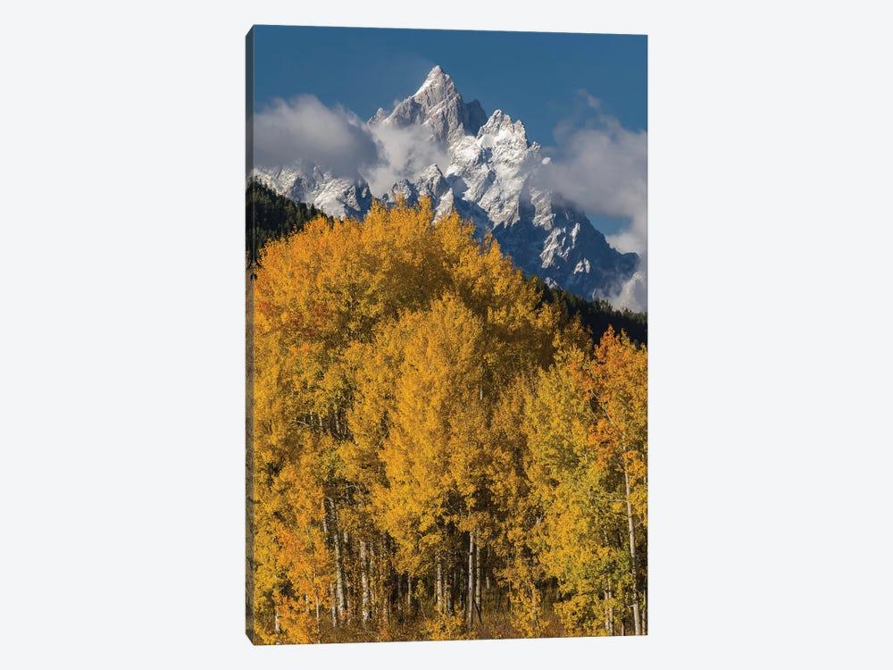 Quaking Aspen trees in fall, Grand Teton Range, Grand Teton National Park, Wyoming by Jeff Foott 1-piece Canvas Artwork