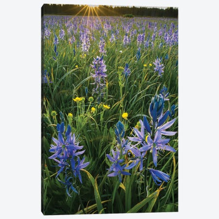 Small Camas flowering in meadow, Yellowstone National Park, Wyoming Canvas Print #JFF87} by Jeff Foott Art Print
