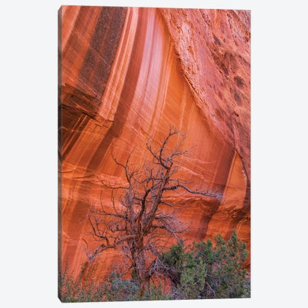 Utah Juniper And Cliff With Desert Varnish, Grand Staircase-Escalante National Monument, Utah Canvas Print #JFF8} by Jeff Foott Canvas Art Print
