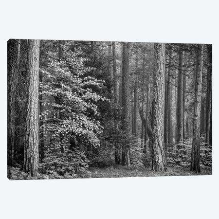 Usa, California, Yosemite, Dogwoods Canvas Print #JFO46} by John Ford Canvas Wall Art