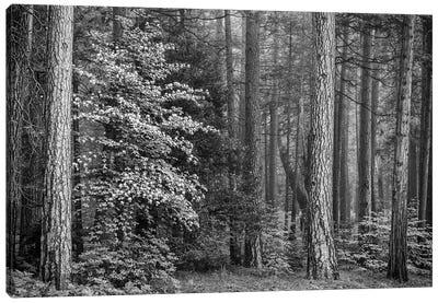 Usa, California, Yosemite, Dogwoods Canvas Art Print