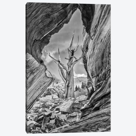Usa, Eastern Sierra, White Mountains, Bristlecone Pines Canvas Print #JFO66} by John Ford Canvas Art