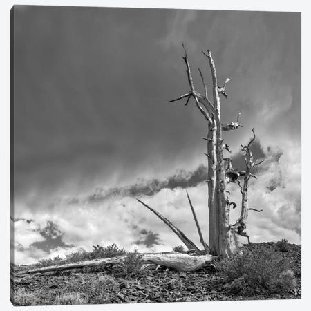 Usa, Eastern Sierra, White Mountains, Bristlecone Pines Canvas Print #JFO67} by John Ford Canvas Wall Art