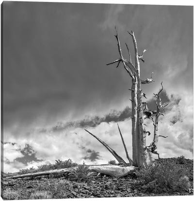 Usa, Eastern Sierra, White Mountains, Bristlecone Pines Canvas Art Print