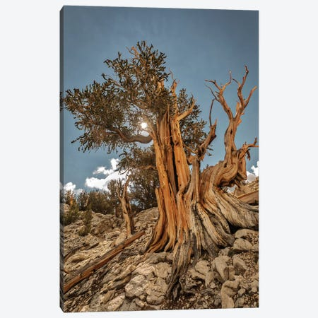 Usa, Eastern Sierra, White Mountains, Bristlecone Pines Canvas Print #JFO69} by John Ford Canvas Print