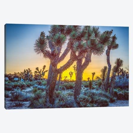 A Joshua Tree Sunrise Canvas Print #JGL11} by Joseph S. Giacalone Canvas Artwork