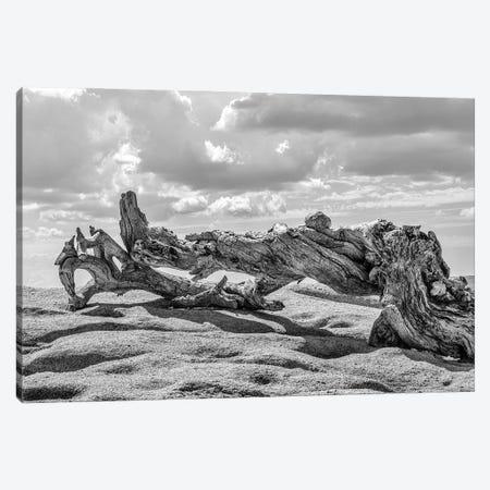 Jeffrey Pine Canvas Print #JGL125} by Joseph S. Giacalone Canvas Art Print