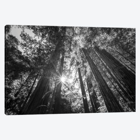 Heavenly Redwoods Canvas Print #JGL18} by Joseph S. Giacalone Canvas Wall Art