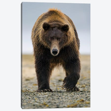 Brown Bear, Katmai, Alaska Canvas Print #JHE1} by Jaymi Heimbuch Canvas Artwork