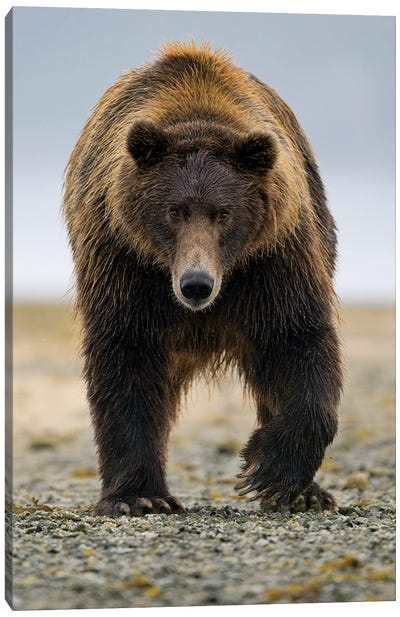 Brown Bear, Katmai, Alaska Canvas Art Print