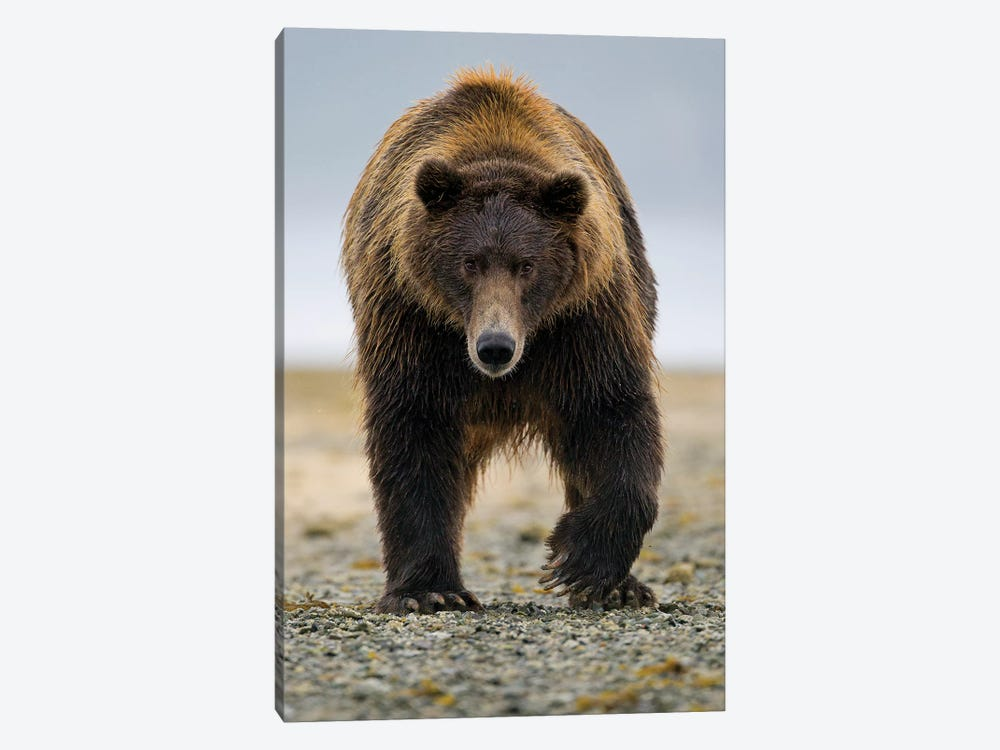 Brown Bear, Katmai, Alaska by Jaymi Heimbuch 1-piece Canvas Art Print