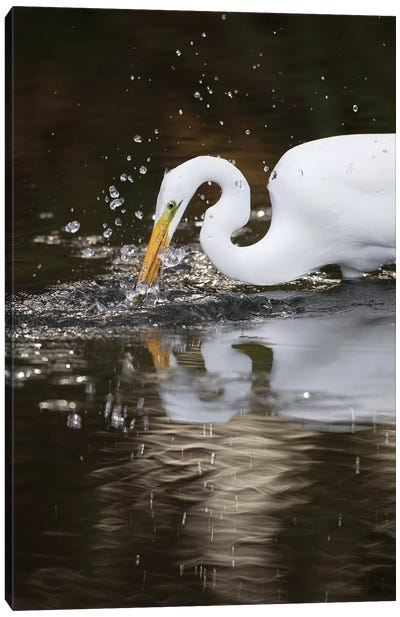 Great Egret Foraging, Los Osos, California Canvas Art Print