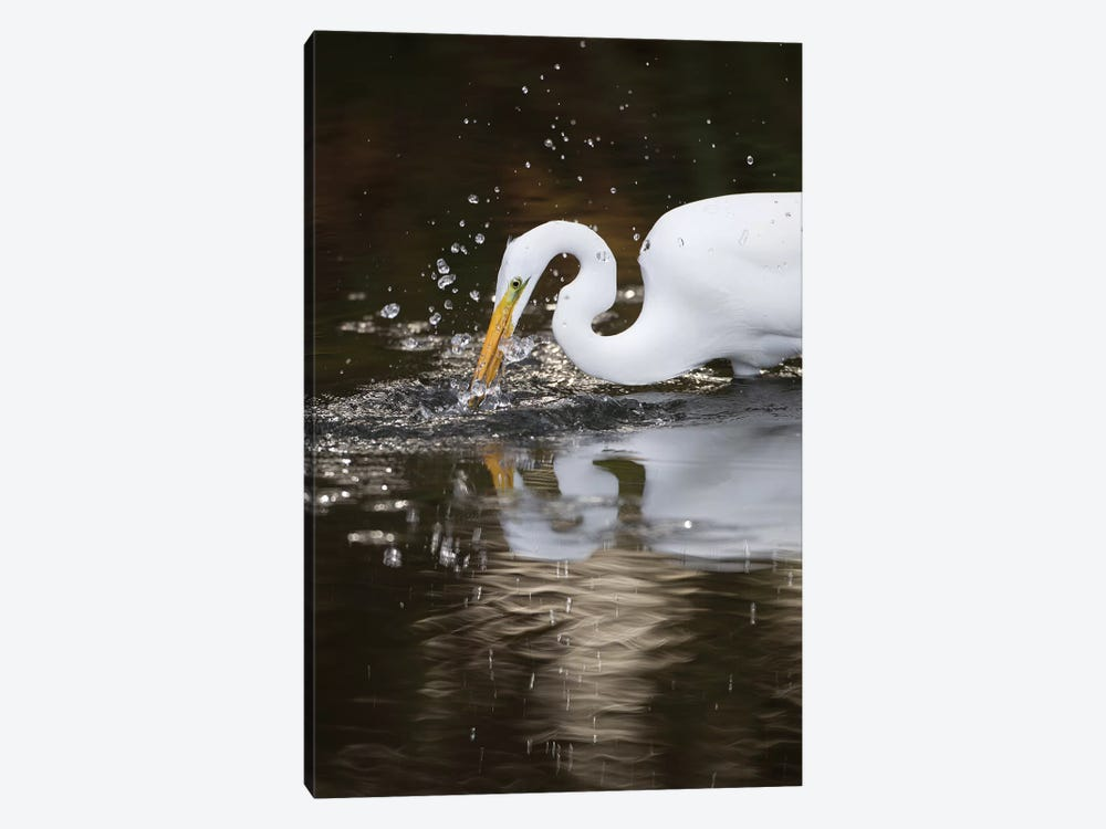 Great Egret Foraging, Los Osos, California 1-piece Canvas Wall Art