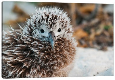 Laysan Albatross Chick, Midway Atoll, Hawaiian Leeward Islands, Hawaii Canvas Art Print