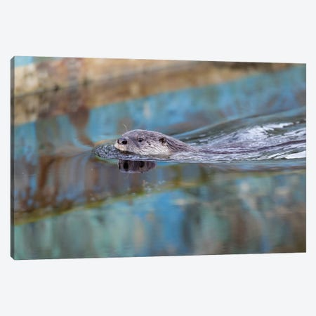 North American River Otter, Called Sutro Sam, Swimming, San Francisco Canvas Print #JHE4} by Jaymi Heimbuch Art Print