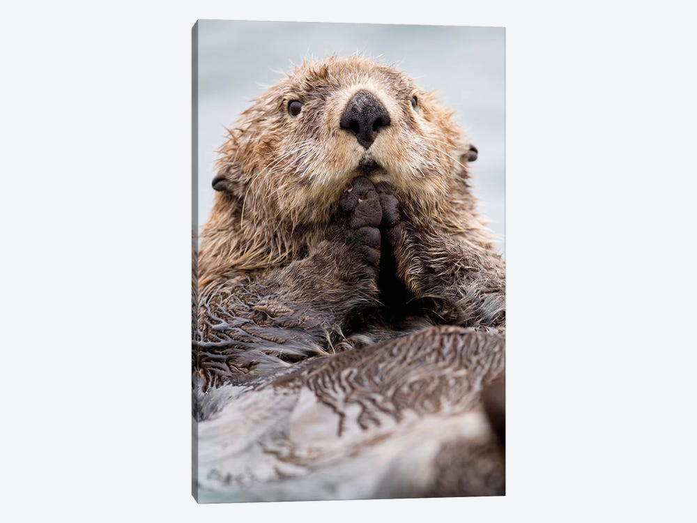 Sea Otter Juvenile, Katmai, Alaska I 1-piece Canvas Art Print
