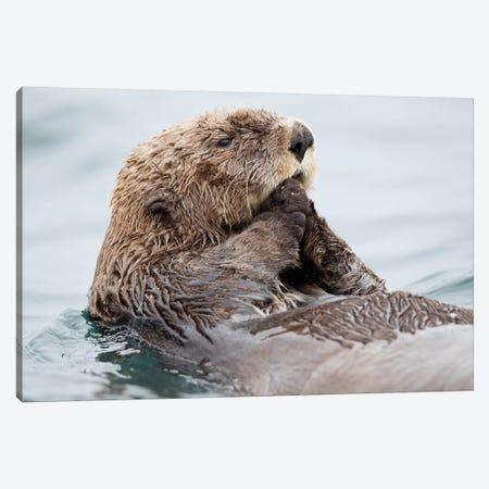 Sea Otter Juvenile, Katmai, Alaska II Canvas Print #JHE6} by Jaymi Heimbuch Canvas Art Print