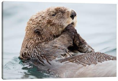 Sea Otter Juvenile, Katmai, Alaska II Canvas Art Print