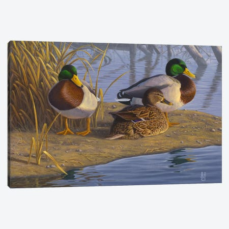 Evening Rest For Northern Greenheads Canvas Print #JHO16} by Jeffrey Hoff Canvas Art