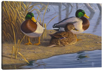 Evening Rest For Northern Greenheads Canvas Art Print
