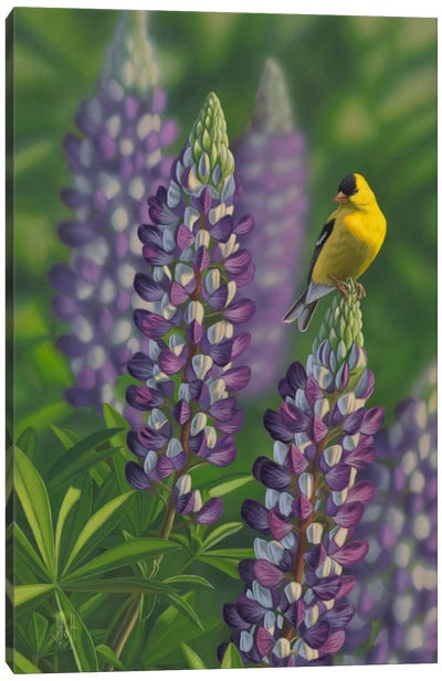 Goldfinch & Lupine Canvas Print #JHO24