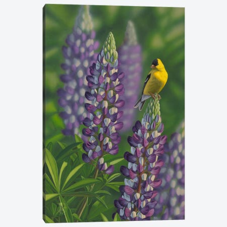 Goldfinch & Lupine Canvas Print #JHO24} by Jeffrey Hoff Canvas Print