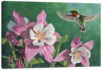Hummingbird & Pink Columbines Canvas Print #JHO28