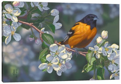 Oriole & Apple Blossoms Canvas Print #JHO33