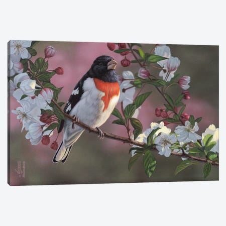 Rose Breasted Grosbeak & Apple Blossoms Canvas Print #JHO39} by Jeffrey Hoff Canvas Print