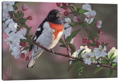 Rose Breasted Grosbeak & Apple Blossoms Canvas Print #JHO39