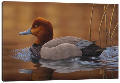 Sunlit Swim (2014 Iowa Duck Stamp) Canvas Art Print