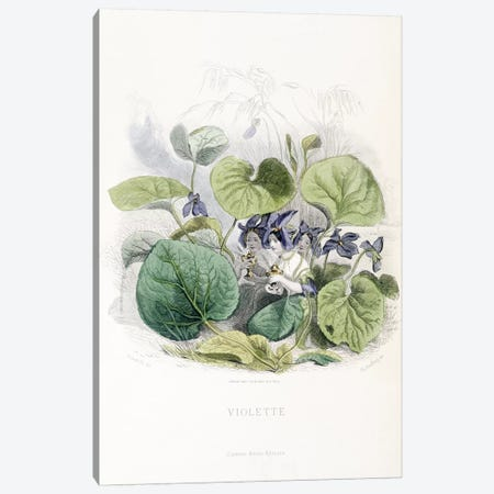 Viola (Violette) Canvas Print #JJG7} by J.J. Grandville Canvas Print