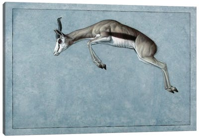 Springbok Canvas Art Print