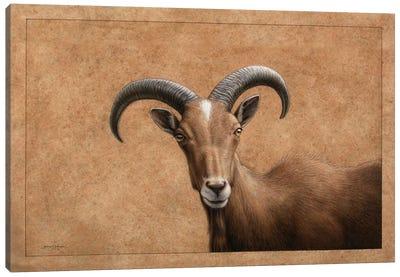Barbary Ram Canvas Print #JJN7