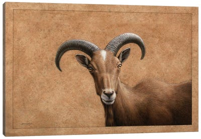 Barbary Ram Canvas Art Print